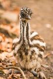 Emú del australiano del bebé Fotos de archivo libres de regalías