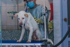 24, em dezembro de 2015, China, Chongqi ajuda do veterinário que toma o chuveiro para um cão disperso branco triste da rua imagens de stock royalty free