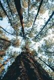 Em linha reta, as florestas estendidos, o sol da manhã penetraram as árvores imagens de stock royalty free
