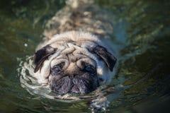 Em maio de 2015 - Elvis está apreciando a primeira nadada da temporada de verão Foto de Stock