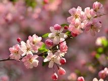 Em março, a begônia cor-de-rosa floresce na flor completa no parque em Suzhou, China Foto de Stock Royalty Free