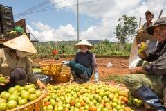 10, em março de 2016 DALAT - fazendeiros que colhem o tomate em Dalat- Lamdong, Vietname Fotos de Stock Royalty Free