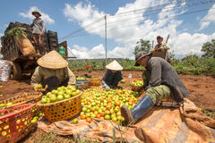 10, em março de 2016 DALAT - fazendeiros que colhem o tomate em Dalat- Lamdong, Vietname Foto de Stock Royalty Free