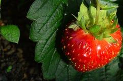 Em morangos vermelhas maduras de uma folha verde da morango Fotografia de Stock Royalty Free