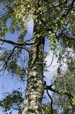 Em Rússia, muitos vidoeiros esta árvore são muito bonitos e disparados contra o céu azul Fotos de Stock