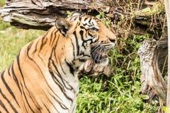 Em Tailândia muita tigre Imagem de Stock