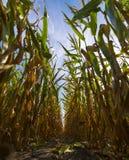 Em um campo de milho Fotos de Stock