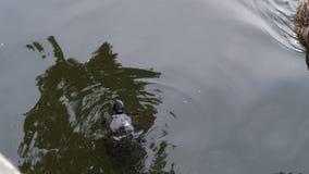 Em um dia de verão quente, natação da tartaruga na água enlameada do lago vídeos de arquivo