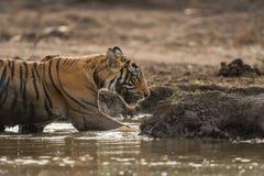 Em um filhote de tigre masculino bonito da noite A que refrigera fora no waterhole no parque nacional de Ranthambore fotografia de stock royalty free