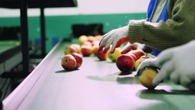 Em uma fábrica de processamento da maçã, os trabalhadores nas luvas classificam maçãs Maçãs maduras que classificam pelo tamanho  vídeos de arquivo