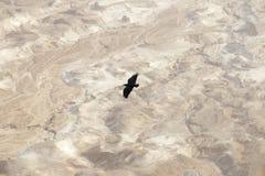 Em uma grande altura acima do deserto de Judean um corvo preto paira Imagem de Stock Royalty Free