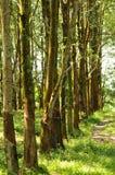 Em uma série da plantação de borracha   Imagem de Stock Royalty Free