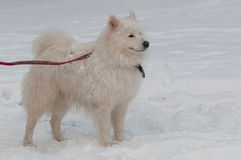Em uma tempestade da neve Imagens de Stock Royalty Free