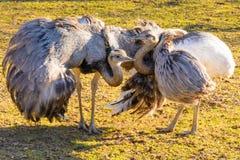 Ema de duas avestruzes no por do sol Foto de Stock