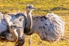 Ema de duas avestruzes no por do sol Imagem de Stock