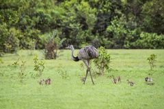 Ema Mother with her Babies in Pantanal Brazil stock photography