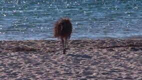 Ema na praia do macaco Mia vídeos de arquivo