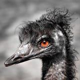 Ema ( pássaro imagem de stock royalty free