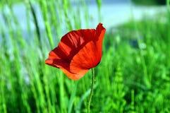 Ema vermelhos do Papaver da papoila foto de stock