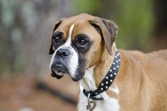 Skinny Boxer dog animal cruelty case. Emaciated thin Boxer impounded in an inhumane treatment investigation for Walton County Animal Control. Starving, ribs stock photography