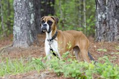 Skinny Boxer dog animal cruelty case. Emaciated thin Boxer impounded in an inhumane treatment investigation for Walton County Animal Control. Starving, ribs Stock Images