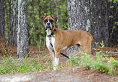 Skinny Boxer dog animal cruelty case. Emaciated thin Boxer impounded in an inhumane treatment investigation for Walton County Animal Control. Starving, ribs royalty free stock photo