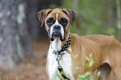 Skinny Boxer dog animal cruelty case Royalty Free Stock Images
