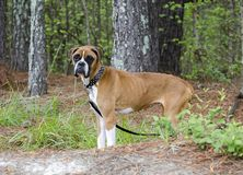 Skinny Boxer dog animal cruelty case. Emaciated thin Boxer impounded in an inhumane treatment investigation for Walton County Animal Control. Starving, ribs stock photo