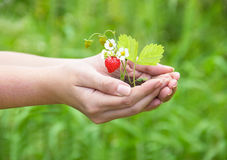 Emale hands holding a strawberry. Emale hands holding a red strawberry Royalty Free Stock Photo