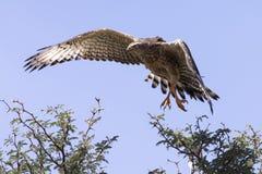 Emale Pale Chanting Goshawk che si siede in un albero contro Kalah blu Immagini Stock Libere da Diritti