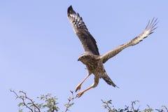 Emale Pale Chanting Goshawk s'asseyant dans un arbre contre Kalah bleu photographie stock libre de droits