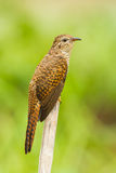 Emale Plaintive Cuckoo. Close up portrait of female Plaintive Cuckoo(Cacomantis merulinus ) in nature Royalty Free Stock Photography