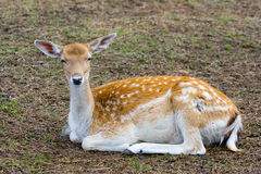 Emale of a sika deer. Lies on the earth Royalty Free Stock Photography