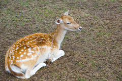 Emale of a sika deer. Lies on the earth Stock Image