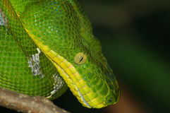 Emarld Tree Boa Stock Photography