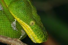 Emarld Tree Boa. Snake curled on a limb Stock Photography