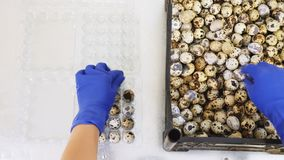 Embalaje de los huevos de codornices en envases de plástico metrajes