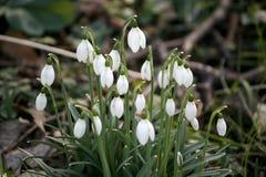 Embale ou grupo de poucas flores do snowbell que florescem acima do galathus n foto de stock