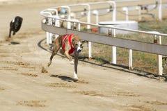 Emballage de chiens de lévrier à la cour de course de chien Photos libres de droits