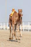 Emballage des chameaux au Qatar images stock