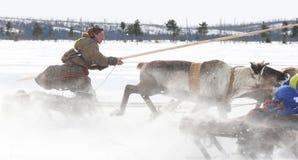 Emballage sur des cerfs communs pendant des vacances du renne. Photographie stock