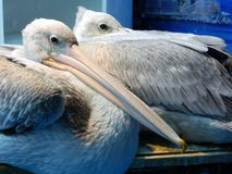Two pelicans looking in the camera. Stock Image