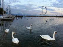 Embankment on Lake Geneva in Lausanne with swans and yacht at ev. Ening time, Switzerland Royalty Free Stock Photography