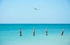 Embarcadero de la playa de Higgs, pájaro, gaviota, cormorán, participaciones de madera, mar, Key West, llaves Foto de archivo libre de regalías