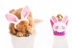 Embarrassed Easter Dog Royalty Free Stock Photos
