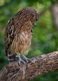 Embarrassed owl Royalty Free Stock Image