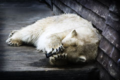 Embarrassed Polar Bear Royalty Free Stock Images