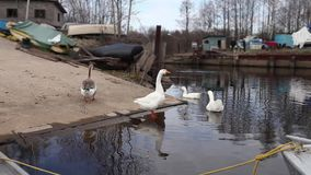 Embden domestic geese stock footage