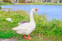 Embden Geese chilling in the lake park Stock Photos