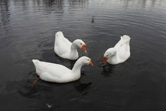 Embden  geese Royalty Free Stock Photography